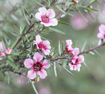 Olejek z drzewa herbacianego - jakie ma własciwości lecznicze?
